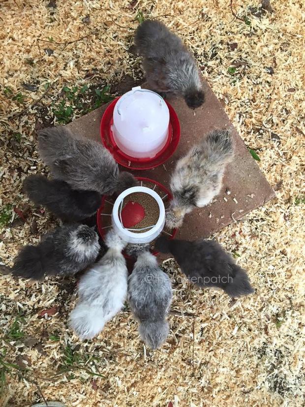 silkie chicken bakyard chickens